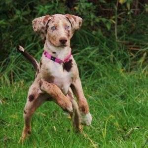 Cão Leopardo Catahoula 300x300 - 10 raças de cachorros que você não conhece