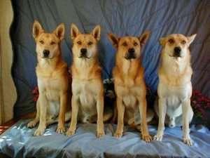 Dingo Americano 300x225 - 10 raças de cachorros que você não conhece