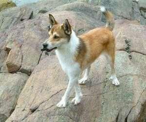 Lundehund 300x250 - 10 raças de cachorros que você não conhece