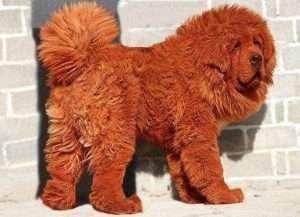 mastiff tibetano 300x217 - 10 raças de cachorros que você não conhece