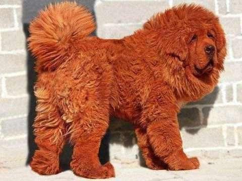 mastiff tibetano 480x360 - 10 raças de cachorros que você não conhece