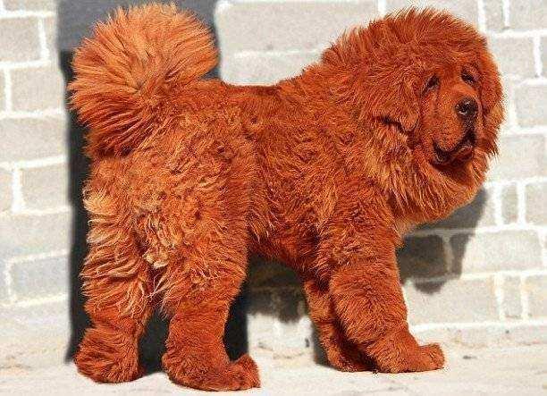 mastiff tibetano - 10 raças de cachorros que você não conhece