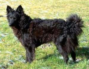 mudi 300x231 - 10 raças de cachorros que você não conhece