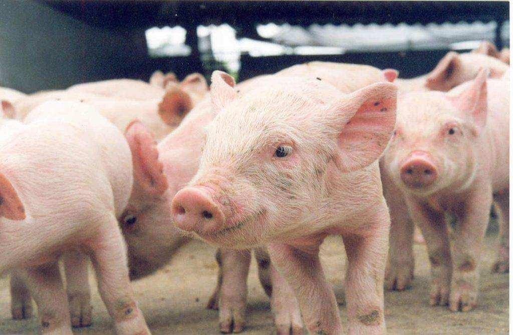 Criação de porcos 1024x670 - Piso de borracha para transporte de suínos HD-15 EL