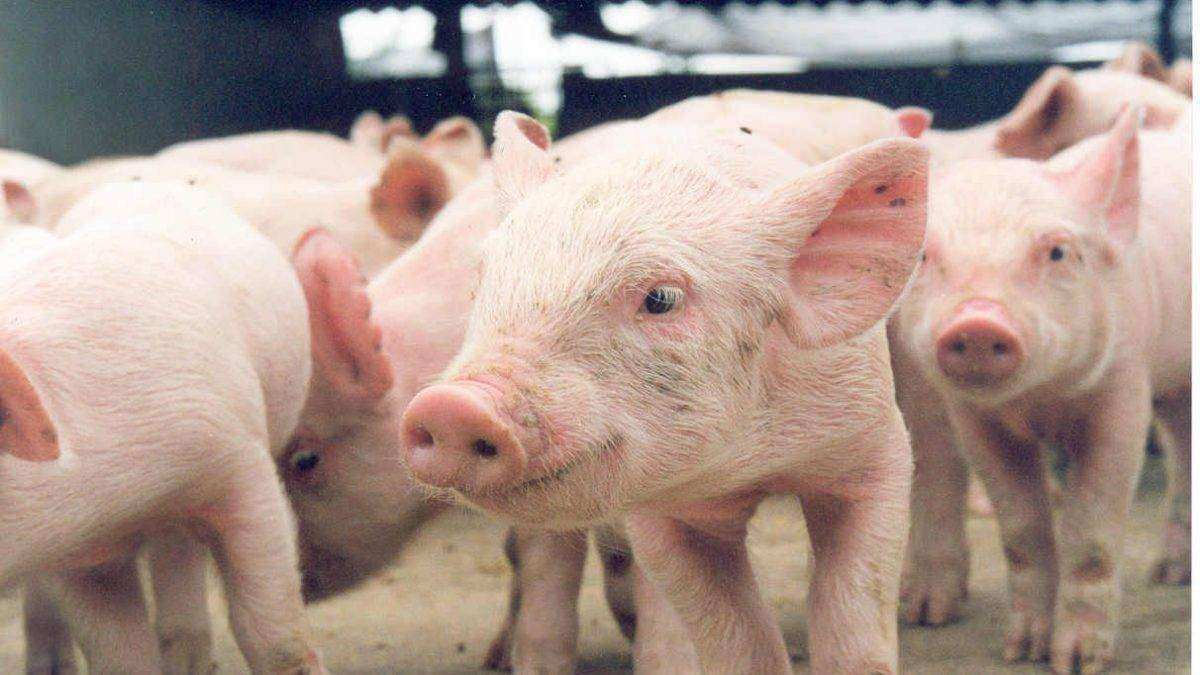 Vedovati Pisos Criação-de-porcos-1200x675