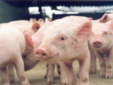 Vedovati Pisos Criação-de-porcos-480x360