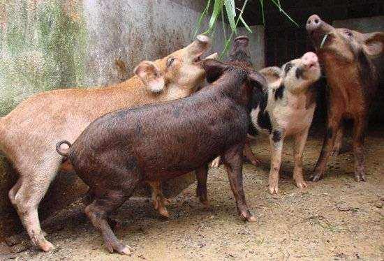criação de porcos caipira1 - Dicas sobre manejo alimentar de suínos