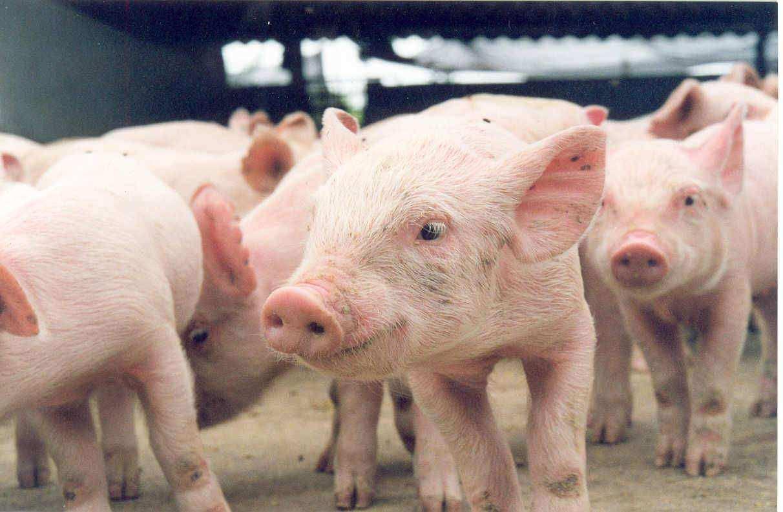 Vedovati Pisos criação-de-porcos