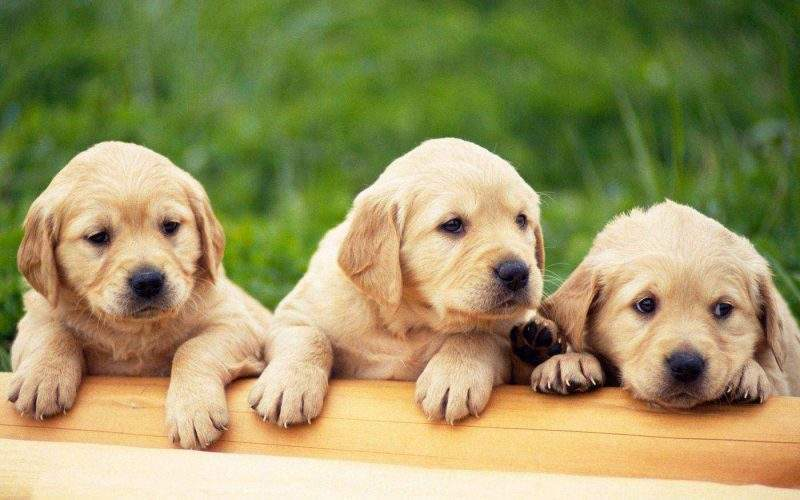 Pisos para Cães
