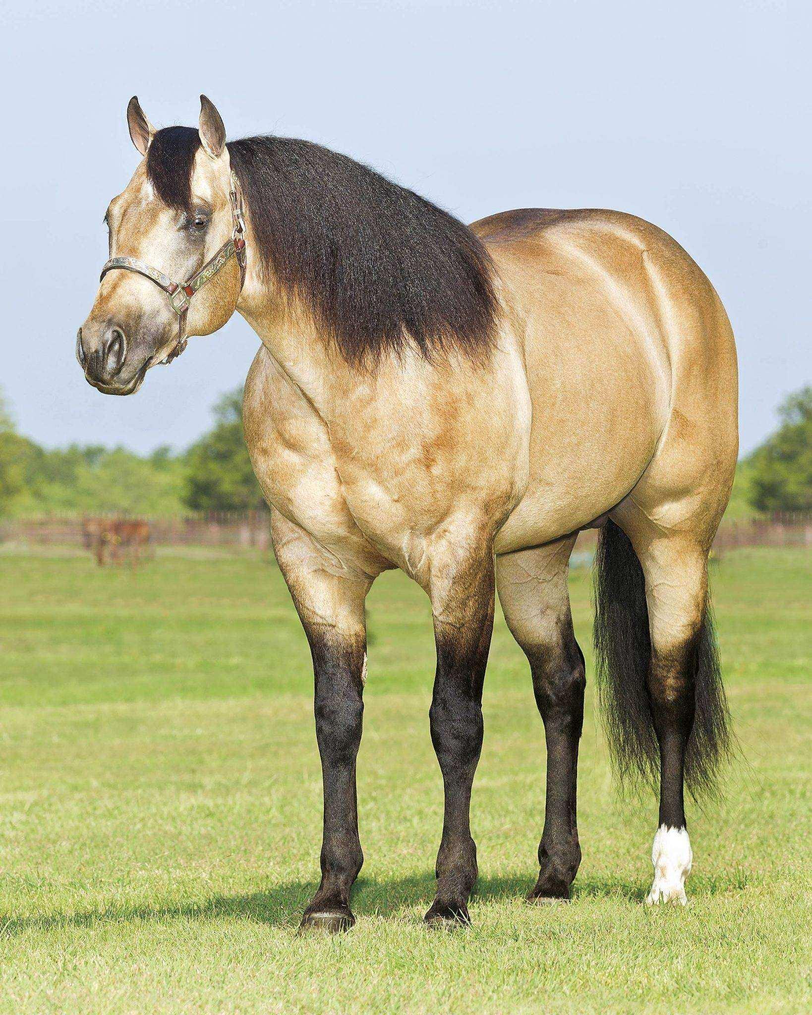 quarto de milha baio 1 - Cavalo Quarto de Milha: 8 motivos para você amar ainda mais