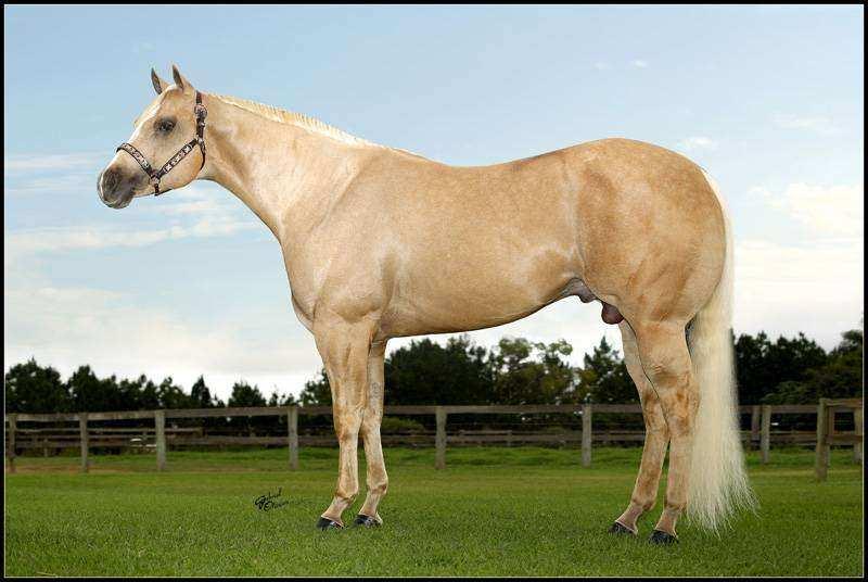 quarto de milha claro 1 - Cavalo Quarto de Milha: 8 motivos para você amar ainda mais