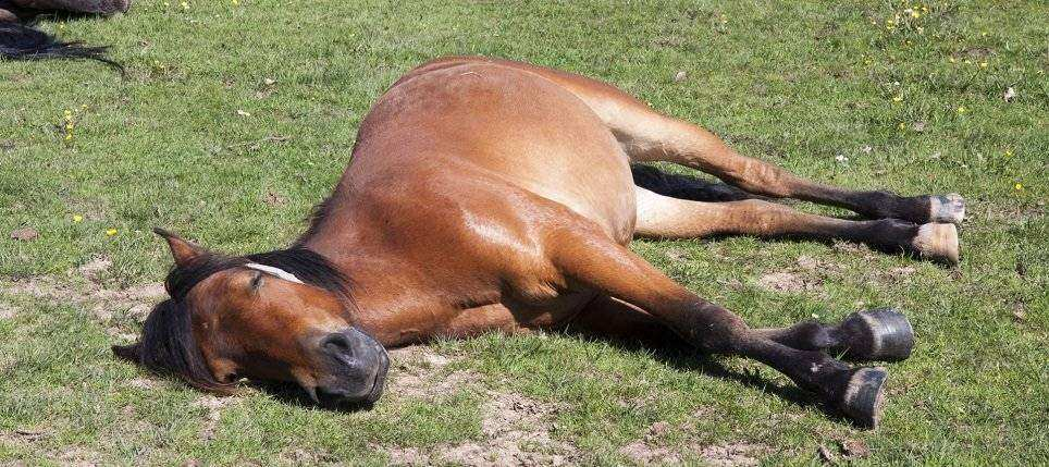 cavalo preguicoso 2 - Piso de borracha para Baia de Cavalo EBV-30