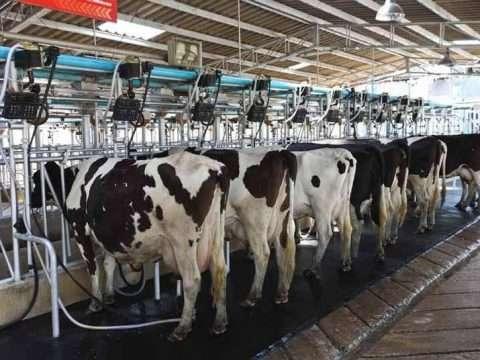 Piso de borracha gado leiteiro 480x360 - Saiba aqui por que os pisos de borracha Vedovati são excelentes para seu gado