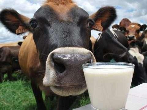 gado leiteiro 480x360 - Doenças de cascos em vacas: Dermatite interdigital e Panarício interdigital