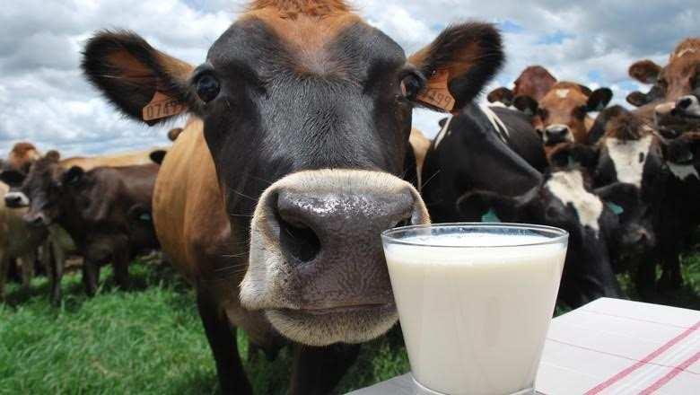 Vedovati Pisos gado-leiteiro