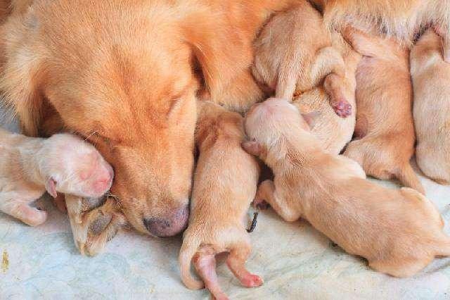 Vedovati Pisos caixa-maternidade-para-cadelas