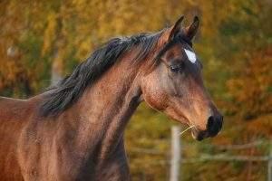 rabe 300x200 - 5 raças de cavalos mais criadas no Brasil