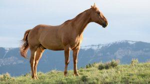 Mangalarga Marchador 300x169 - 5 raças de cavalos mais criadas no Brasil