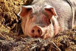pig 2189566 960 720 300x200 - Cascos dos suínos: porque é tão importante cuidar da saúde deles